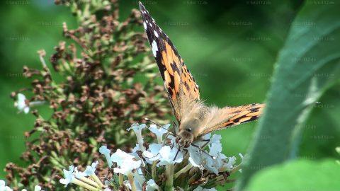 Schmetterlinge-01