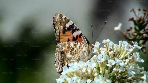 Schmetterlinge-03